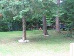 Mature pine trees