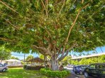 Banyan Treen at Aina Nalu