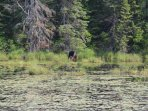 Moose in our private 6 acre beaver pond