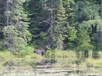 Moose in our private beaver pond
