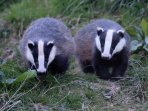 Badgers photographed by Ian Dickie at Burnbrae Mill April 2017