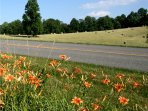 Summer daylillies on the Parkway.
