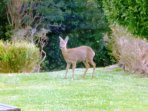 This deer visits our garden, along with many rabbits,  woodpeckers, swallows nesting,