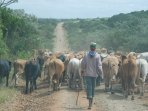 Moving the cattle to a new camp along the farm road
