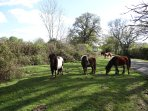 New Forest ponies outside the house