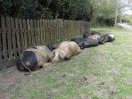 The Bramshaw Piggies asleep