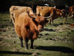 Our local Highland cattle