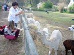 Visit the fascinating    nearby Alpaca fleece  farm  3 miles.