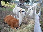 Always curios the Peruvian   Huacaya Alpacas on nearby farm