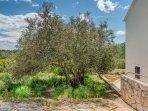 Direkte Umgebung des Objekts  -  Olivenbaum