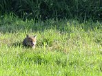 Cute Fox Cub out playing in the neighbouring field ! May 2017