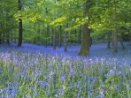 Bluebell woods in the Forest of Dean