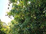 Mangos in May/June