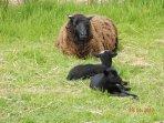 The first 2017 lambs enjoying some sun.