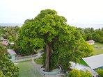 Attraction: Grand Banyan Tree of Velidhoo