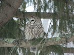 Barred owl in tree in front yard!