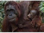 A bay taking breast-food. Orangutan feeding to the baby till 4 years