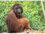 TOM orangutan alfa male- King of Camp Leakey
