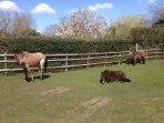 just outside thatch cottage gate , the ponies , donkeys and cows roam free around  the village