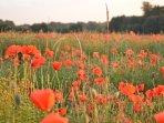The neighboring poppy field last summer....