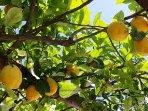 Garden's lemon tree
