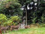 Abundant wildlife (Sitka black tail deer on site)
