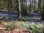 Bluebells in Flaxley woods. Just a short walk from the Cottage.
