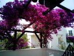 Gorgeous bougainvillea on your front walled terrace, magic!
