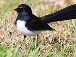 Our local willy wagtail