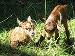 notre chèvre vient de pondre 2 petits cabris le 22 mai 2017