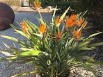 Bird of Paradise plant in the garden