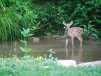 Fawn enjoys Rose Manor's  creek