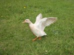 Apricot the duck