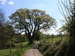 The oldest oak tree in Cheshire on the approach to the Shepherd Huts