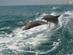 In Clearwater beach, several tour boats cater to dolphin watching