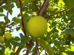 Enjoy the Fruit form one of the several fruit trees on the grounds