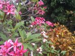 Lovely colors of Plumeria Flowers in the Yard.