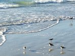 Sand Pipers.  Always busy at the waters edge.