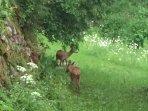 Roe deer int evening feeding on wild flowers June 2017