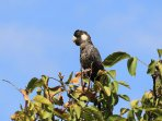 Balck cockatoo in walnut tree