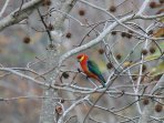 Parrot (western rosella?) in garden liquid amber - early winter