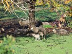 Sheep in paddock under walnut trees