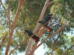 Red-tailed black cockatoos in gum tree on the property