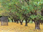 Apricot trees in autumn