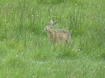 One of the local hares which visit Aurora almost daily