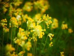 May cowslips around the lake