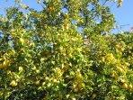 Our fabulous lemon tree