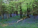 Blue bell glade, Portumna Forest Park