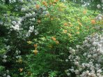 Flame azaleas and mountain laurel