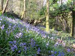 Bluebell woods at Le Choisel.